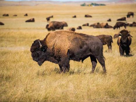 Buffalo ranch 1015