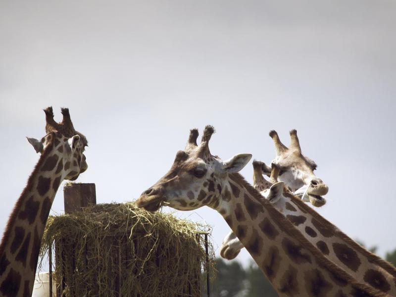 Giraffes boriskasimovjpg