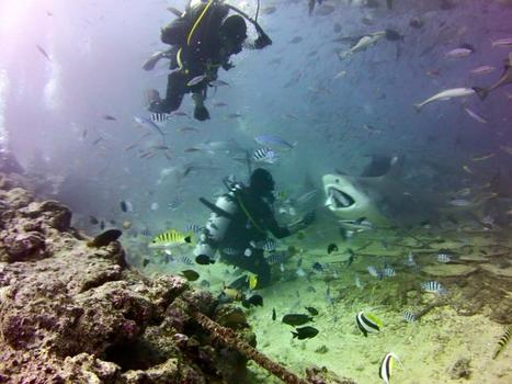 Shark dive fiji