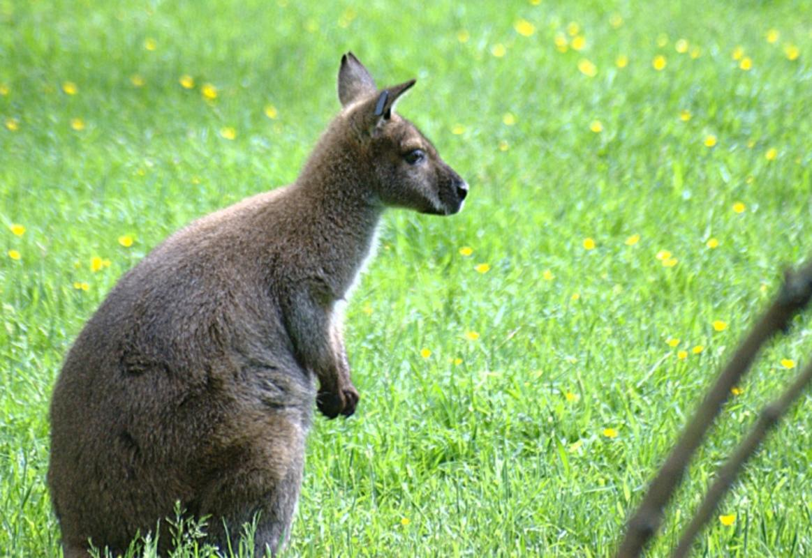 """""""Wallaby"""" by Avi via Flickr Creative Commons"""