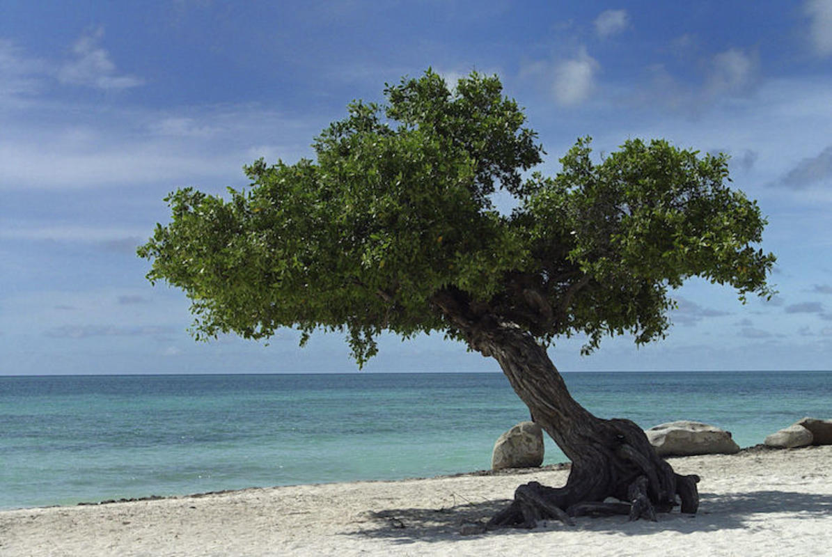 """Aruba Divi Tree - Eagle Beach"" by Serge Melki via Flickr Creative Commons"