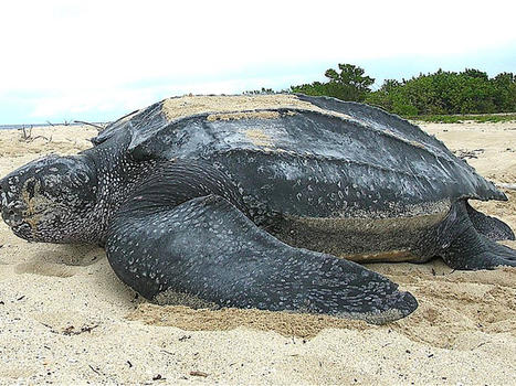 Leatherback sea turtle tinglar  usvi %285839996547%29