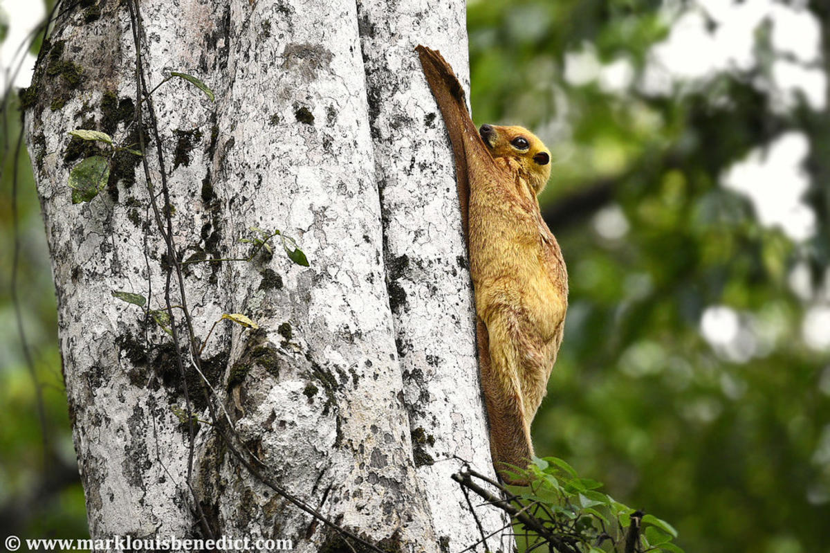 Sunda Colugo / Flying Lemur (Galeopterus variegatus borneanus) by Mark Louis Benedict via Flickr Creative Commons