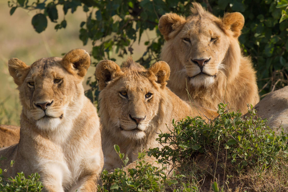 """Lions Family Portrait"" by Benh Lieu Song via Flickr Creative Commons"