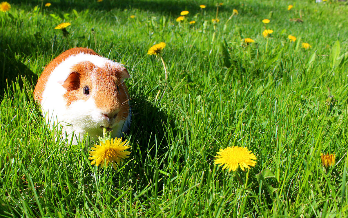 Sasu the Guinea Pig by Andy Miccone via Flickr Creative Commons