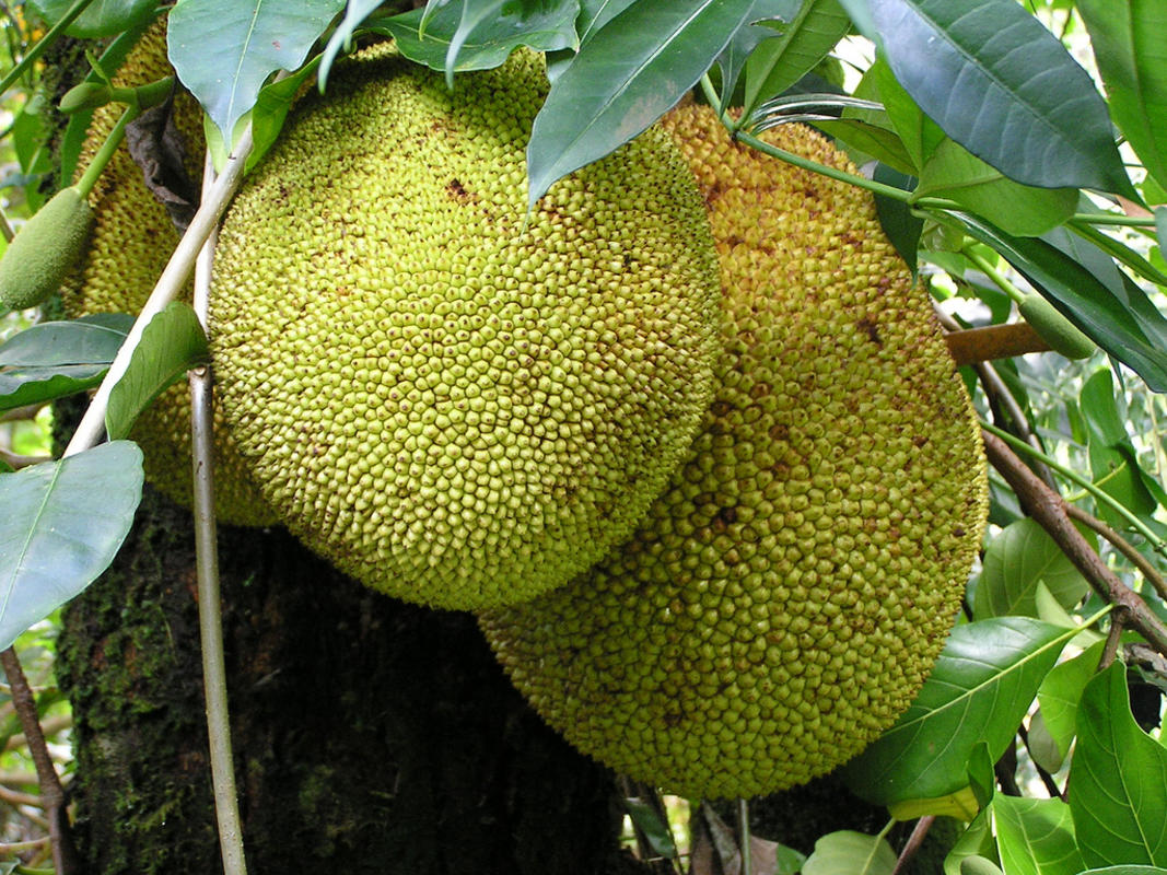Jackfruit Photo by Scot Nelson via Flickr Creative Commons