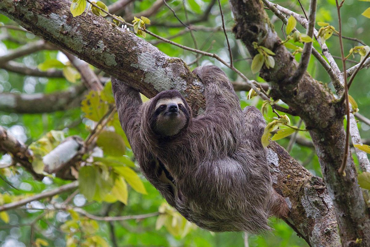 Three-toed sloth - Bradypodidae - Luiaard by Martha de Jong-Lantink via Flickr Creative commons