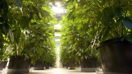 Marijuana plants thrive in a Seattle, Washington, dispensary. (Mike Siegel / MCT)