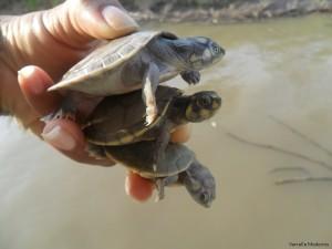 Filhotes de tartarugas