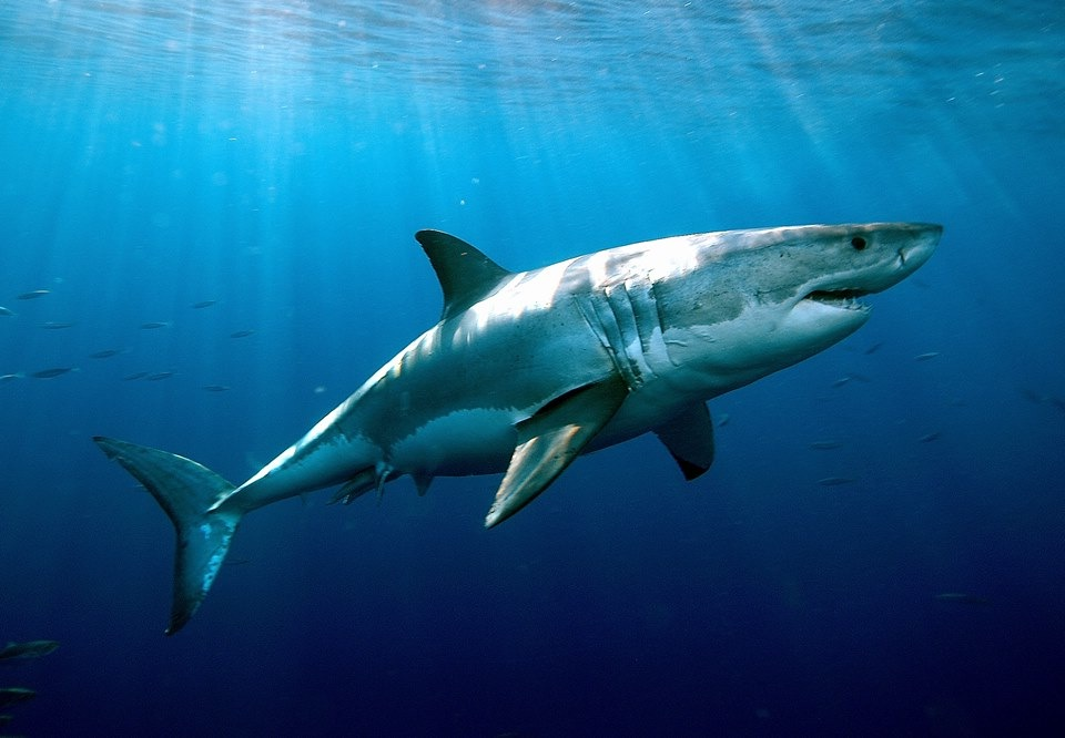 Tubarão branco visto lateralmente