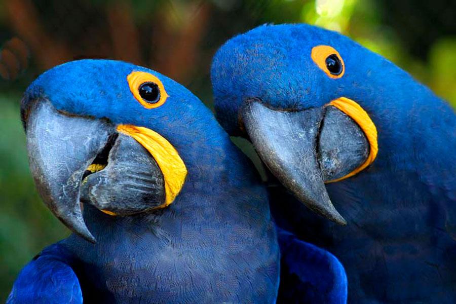 araras azuis - espécies ameaçadas