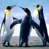 Penguins.jpg 9bcbc9808eccbea6ffb357e4abd23f96