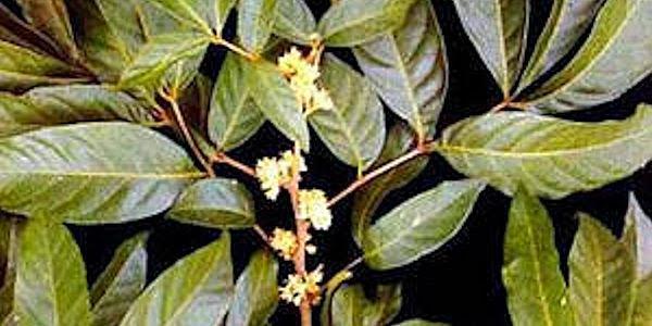 marapuama-planta