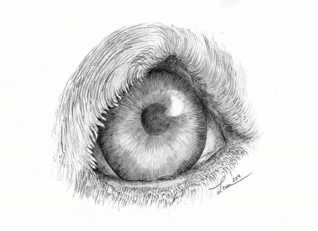 Eye of a dog intermediate
