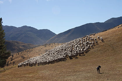 It Starts With Free Range New Zealand Merino Sheep