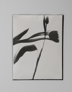 ENNID BERGER Tulips and Other Botanicals oil paint on silver gelatin photogram