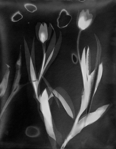 ENNID BERGER Tulips silver gelatin photogram