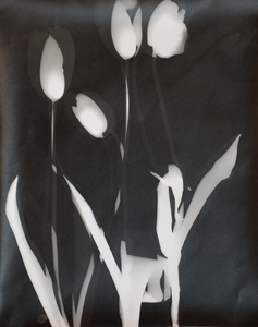 ENNID BERGER Tulips and Other Botanicals silver gelatin photogram