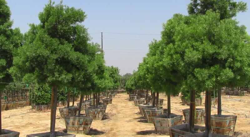 Fruit_trees_in_sugar_land__tx