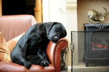 A black lab named Reggie aka Tank resting on a chair (A submitted Facebook photo)