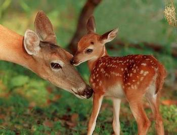 Spring Fawns will be Coming Soon