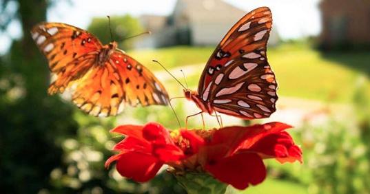 Gulf fritillary butterflies on zinnia flowers.