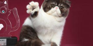 Exposição deve reunir mais de 200 gatos exóticos em Vinhedo