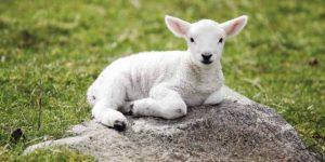 Valinhos recebe exposição de ovinos
