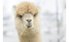 Adopt an Alpaca £9 instead of £20 to adopt an alpaca, £29 to include a meet and greet experience at Charnwood Forest Alpacas, Loughborough - save up to 55% - wowcher