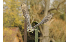 American Raptor Experience £19 for a three-hour American Raptor encounter for one person, £32 for two people at Herrings Green Activity Farm, Wilstead - save up to 79% - wowcher