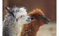 90-Min Alpaca Trekking for 1 or 2 £14 instead of £35 for a 90-minute \'walking with alpacas\' experience for one, £24 for two people at Charnwood Forest Alpacas, Ashby-de-la-Zouch - save up to 60% - wowcher