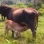 Instalan moderna posta de inseminación artificial para ganaderos en Paraíso