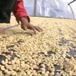 El café de la Comunidad de Río Azul traspasa fronteras con la marca: Hecho en Tingo María – Perú