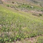 Reinician erradicación de cultivos de coca ilegal en Aucayacu