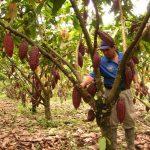 Devida: Hay 140 mil cultivos alternativos de cacao reemplazando cultivo de la hoja