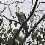 Primer registro documentado del águila blanca y negra en Perú se realiza en RN Allpahuayo Mishana