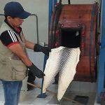 Aprovechan pieles de pescados amazónicos para artículos de calzado y marroquinería