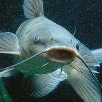 Cultivarán pez Ashara en Ucayali
