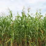 San Martín: Cultivos de maíz amarillo no contienen transgénicos