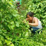 Cultivo de sacha inchik dinamiza la economía en San Martín