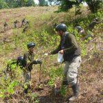 Corah erradica 12 600 hectáreas de cultivos ilegales de coca