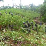 Corah erradica más de 14 100 hectáreas de cultivos ilegales de coca