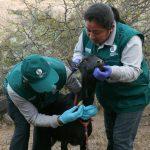 Inician estudio sobre la situación sanitaria del ganado caprino en Ayacucho