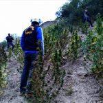 Intervienen cultivos de droga en La Libertad