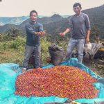 Unas 730 hectáreas de coca reconvertidas a café en el Vraem