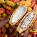 San Martín: Promoverán reducción del cadmio en cultivo de cacao