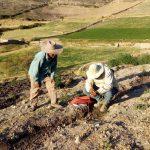 Arequipa: Mejoran producción de durazno de Lluta