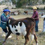 Ayacucho: Atienden a 1 200 animales de producción en Víctor Fajardo