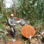 Osinfor alertó sobre más de 60 millones de pies tablares de madera extraída ilegalmente