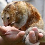 Rescatan a oso hormiguero bebé en Iquitos